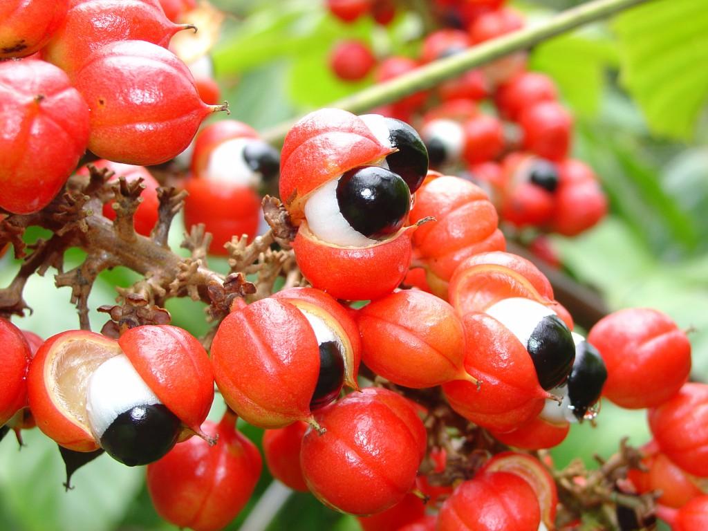 Guaraná da Amazônia pode gerar biocombustível
