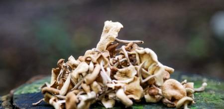 Cogumelos Capa