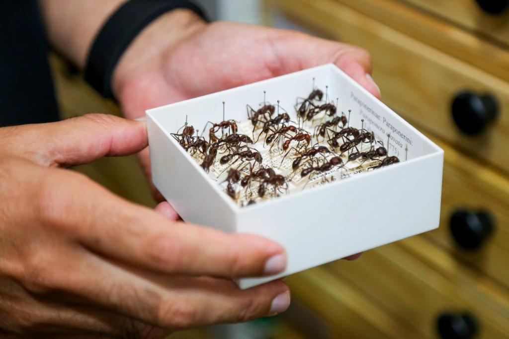 Formigas caixinha