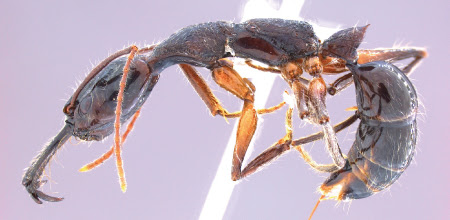 Anochetus-hohenbergiae